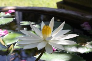 White Water lilly 9576 by fa-stock