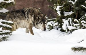 Gray Wolf I by OrangeRoom