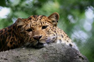 leopard by RuffyMay