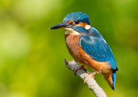 Turning blue by the shores of freedom - Kingfisher by Jamie-MacArthur