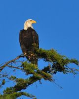 Bald Eagle 7206 by robbobert