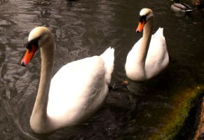 Swans by katie0792