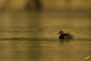 Little Grebe by linneaphoto