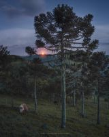 Araucaria Moonlight by Miguel-Santos