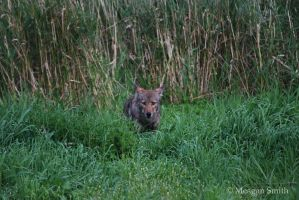 Cody the Coywolf by Pagan-Inspiration