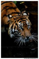Tiger Dip II by TVD-Photography