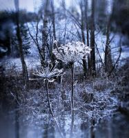 Frosty Cow Parsley by crilleb50