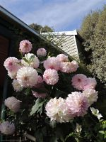 Dahlias in Pink by kayandjay100