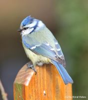 Bluetit / Blaumeise by bluesgrass