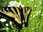 Sunsoaked Swallowtail by pikachucutie17