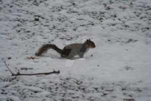 Squirrel looking for food by Skulkarmy