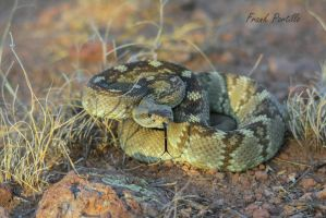 Black Tailed Rattlesnake (Crotalus ornatus) by achillesbeast