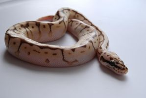 Baby Ball Python 12 by FearBeforeValor