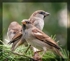 Sparrows by maska13