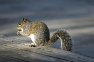 Squirrel Eating Nut by Della-Stock