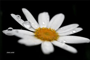white petals and drops by Zlata-Petal