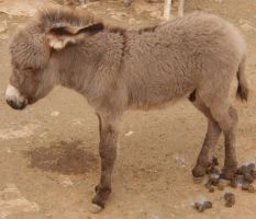 Baby Donkey 3 by Spiteful-Pie-Stock