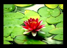 water lilly by lg3