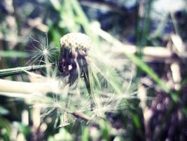 lone dandelion by maddiluvsphotography
