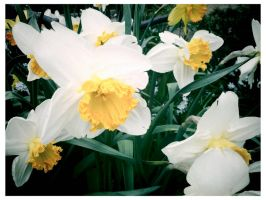 pale daffodils by ksra