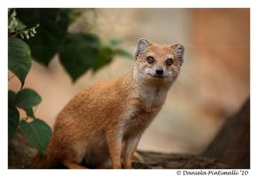 Mongoose by TVD-Photography
