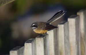New Zealand Fantail by chickensmoothie