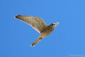 Free Kestrel in the sky by Momotte2