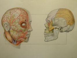 Anatomy Study of the Head by DaveCurtis