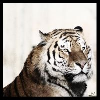 Amur Tiger 21 by Globaludodesign