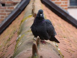 Pigeon 4 by Panopticon-Stock