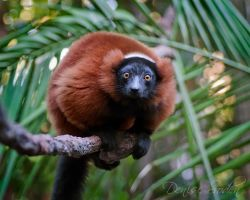 Red Ruffed Lemur by DeniseSoden
