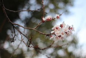 Blossoms Blending into Bokeh by AtomicBrownie