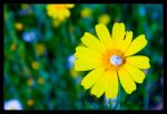Yellow Blossom by Kazzza