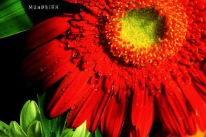 Red flower by MAK-Photographi