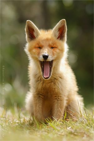 Yawning Fox Kit by thrumyeye