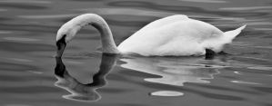 Swan black and white by Ainanas