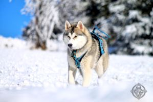 Siberian husky - My Enya by Dosty7