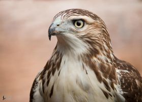 Red Tailed Hawk 2 by EdgedFeather
