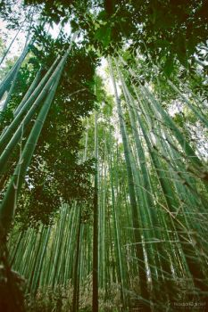 Bamboo Forest by silber-englein