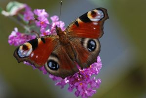 Butterfly 21 by Marina17