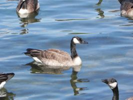 Canada Geese 006 by presterjohn1