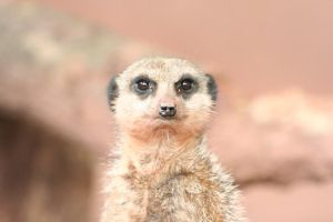 Perfect Meerkat by Kaptured-by-Kirsty