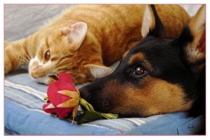 cat  dog and rose   by akinna - Kedi,K�pek ve g�l :)
