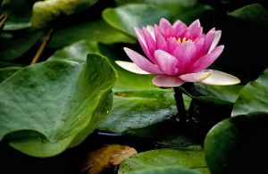 pink water lily by Aspyrin