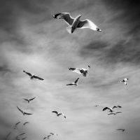 Sea Gulls in Grey by tracy-Me