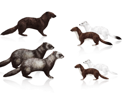 Tutorial: weasels, stoats, polecats, minks, ferret by LadyAway