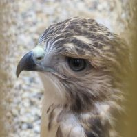 Young Red-Tailed Hawk 3 by Windthin