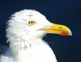 Seagull in Profile by Uerskolt