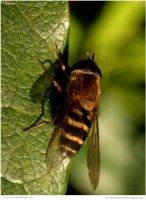 Sunning Hoverfly by In-the-picture