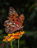 Chewed Wing Butterfly by drhine
